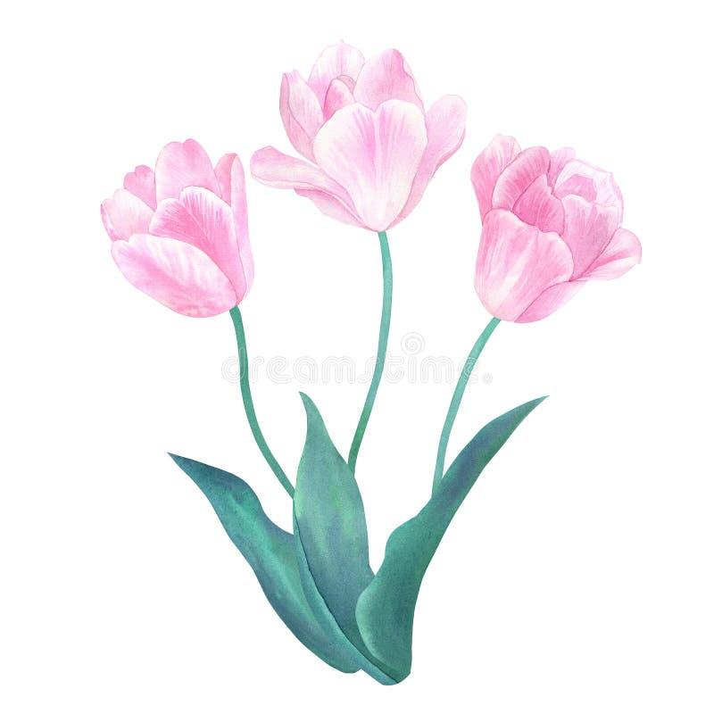 Букет 3 розовых тюльпанов с зелеными листьями в пастельных цветах Нарисованная рукой иллюстрация акварели Изолировано на белизне иллюстрация штока