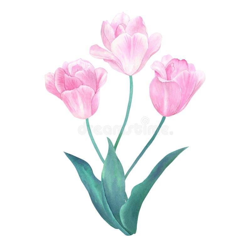 Букет 3 розовых тюльпанов с зелеными листьями в пастельных цветах Нарисованная рукой иллюстрация акварели Изолировано на белизне иллюстрация вектора
