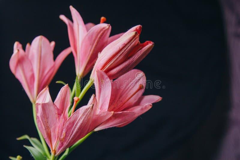 Букет розовых цветков лилии в лучах света на черной предпосылке o стоковая фотография rf