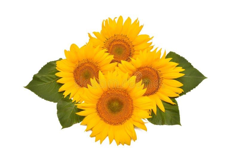 Букет солнцецвета цветочной композиции с листьями изолированными на белой предпосылке Земледелие, фермер Красивый натюрморт флори стоковые изображения rf