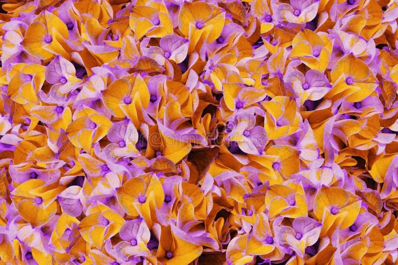 Букет цветков весны света - апельсина - фиолетовые гортензии Предпосылка конца-вверх гортензий цветков апельсин-розового Для desi стоковые фото