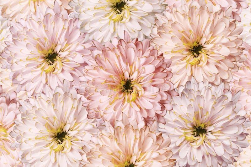 Букет цветков весны светлых красных хризантем Предпосылка конца-вверх хризантем цветков бело-красн-розового для desig стоковое фото rf