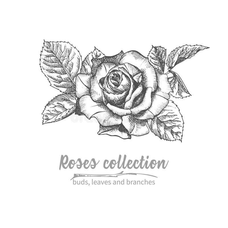 Букет эскиза руки вычерченный illuatration роз детального винтажного ботанического Флористический черный силуэт isollated на бело бесплатная иллюстрация
