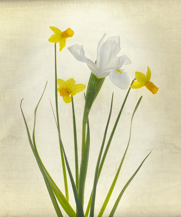 Букет Narcissus и радужки стоковые изображения rf