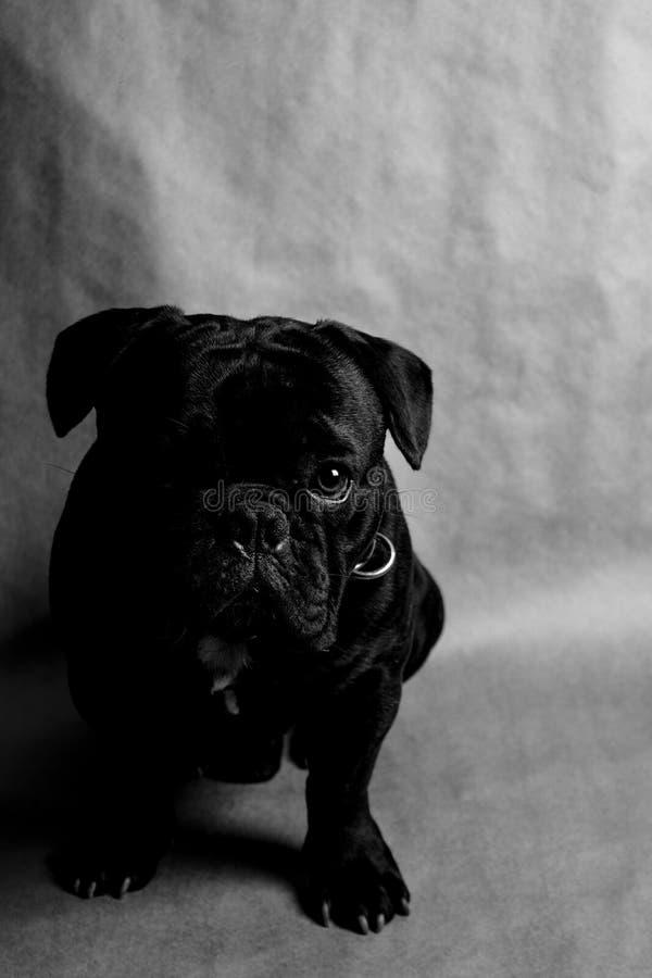 бульдог dof eyes портрет фокуса французский отмелый стоковые фото