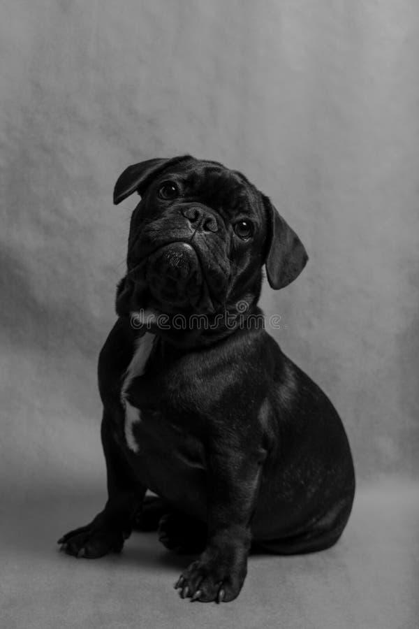 бульдог dof eyes портрет фокуса французский отмелый стоковая фотография rf