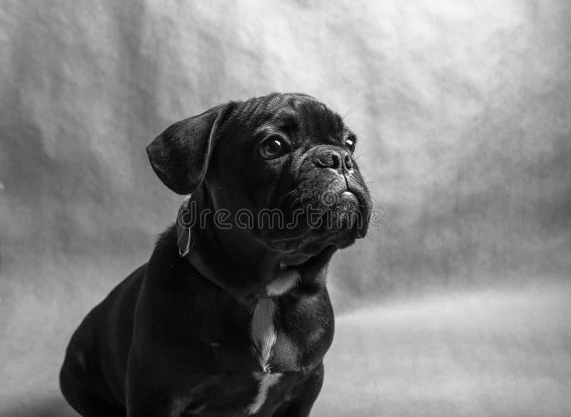 бульдог dof eyes портрет фокуса французский отмелый стоковые фотографии rf