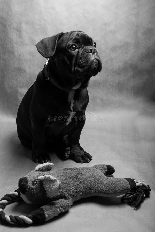 бульдог dof eyes портрет фокуса французский отмелый стоковое изображение rf