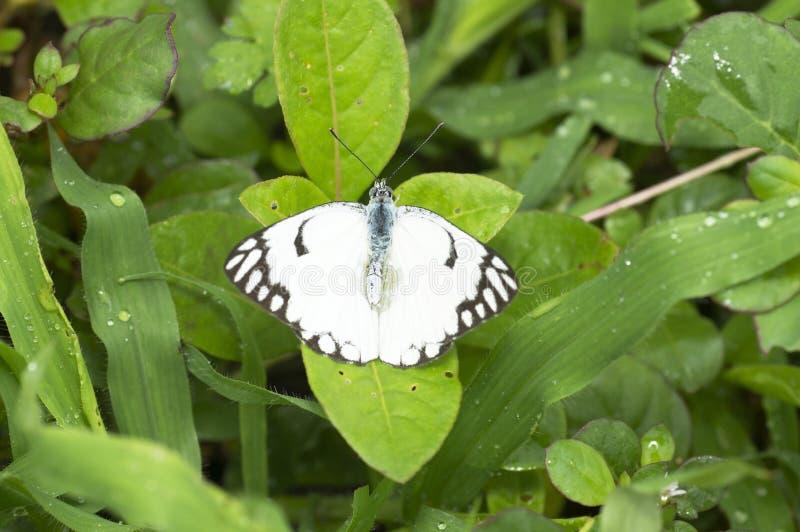 Бумажная бабочка змея, leuconoe около Пуна, махарастра идеи, Индия стоковая фотография rf