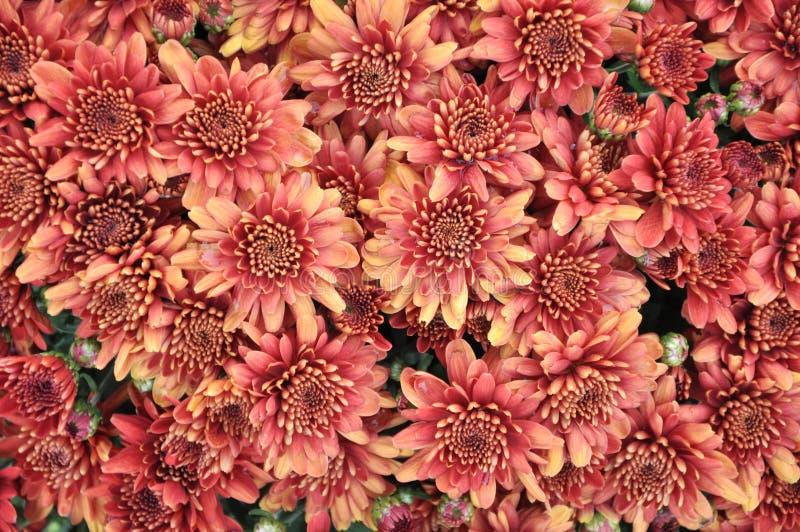 Бургундский цветок стоковое изображение rf