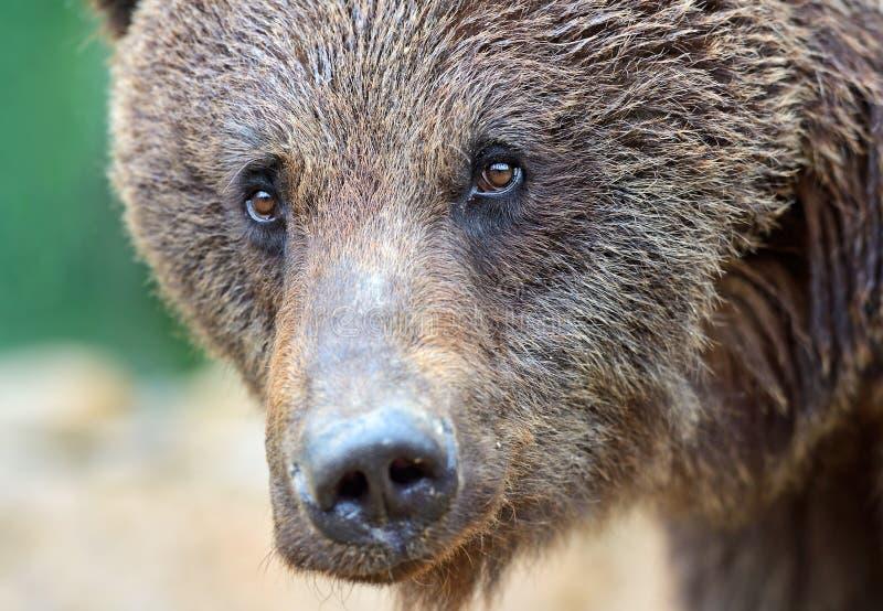 Бурые медведи стоковая фотография rf