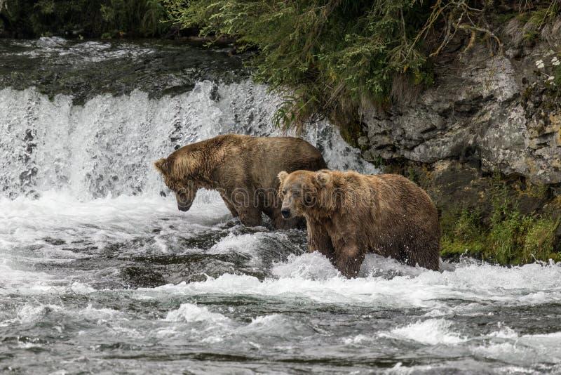 Бурые медведи Katmai; Падения ручейков; Аляска; США стоковая фотография