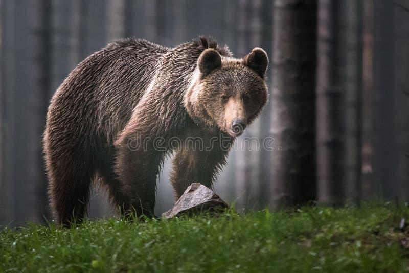 Бурый медведь в буром медведе леса большом Медведь сидит на утесе Arctos Ursus стоковые изображения rf