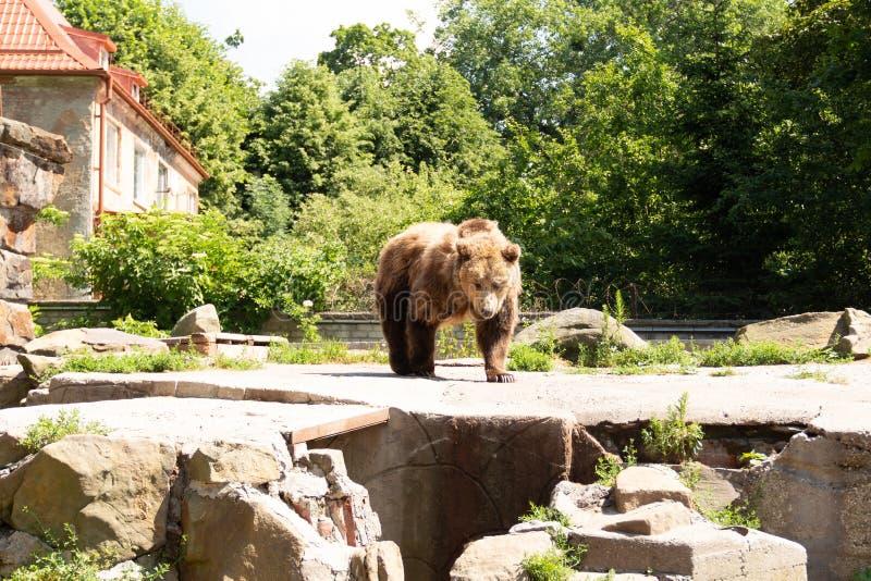 Бурый медведь ищет соответствующее место где никакой горячий солнечный свет иллюстрация штока