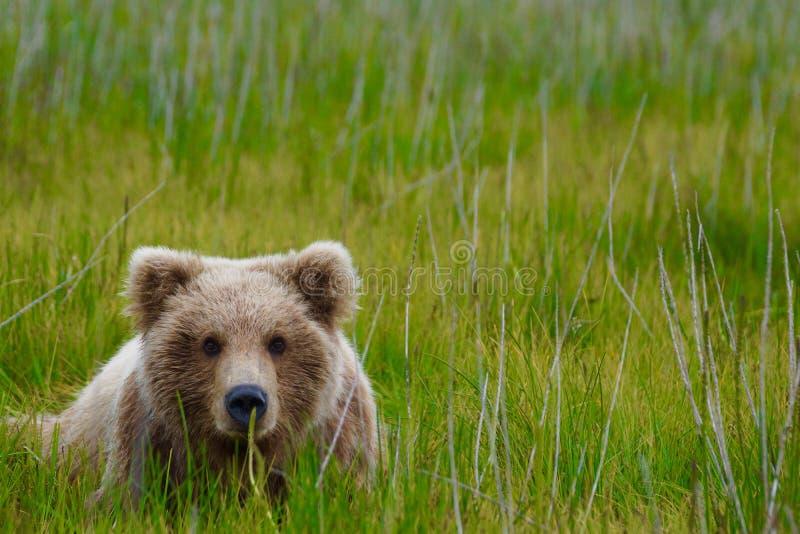 Бурый медведь кладя в поле стоковое изображение rf