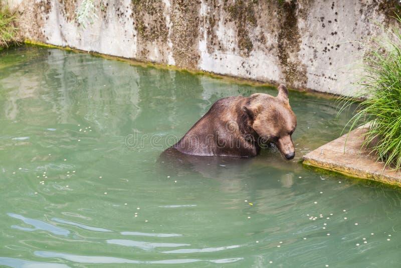 Бурый медведь на парке медведя Bern, Швейцарии стоковое изображение rf