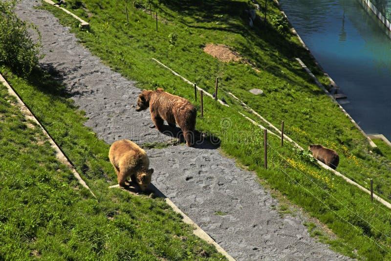Бурый медведь в парке медведя, Bern, Швейцарии. стоковые фотографии rf