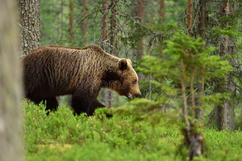 Бурый медведь глубоко в лесе стоковая фотография rf