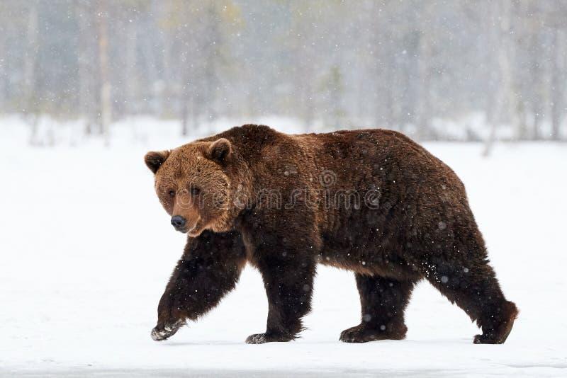 Бурый медведь идя в снег стоковое фото rf