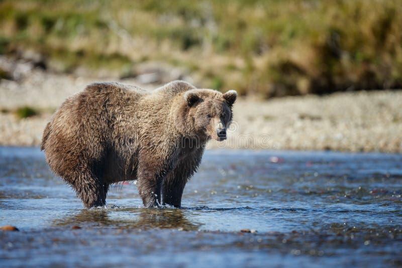 Бурый медведь на Аляске Katmai стоковое изображение rf