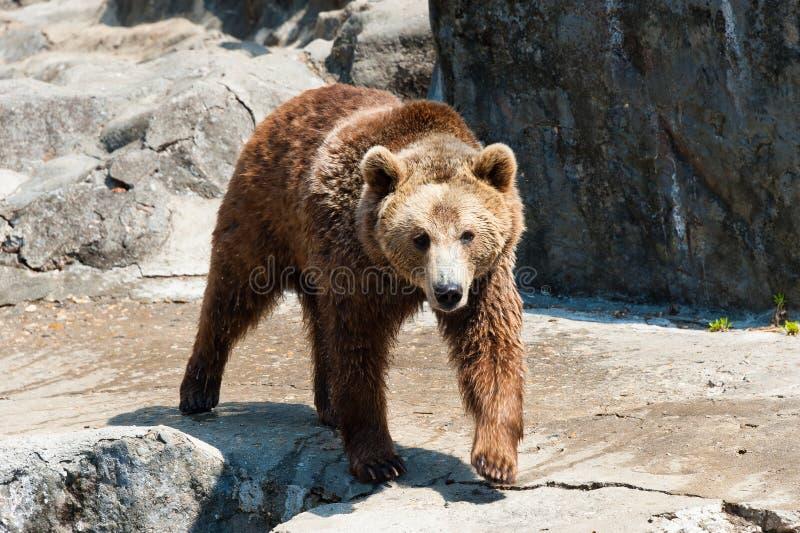 Бурый медведь на утесе стоковая фотография