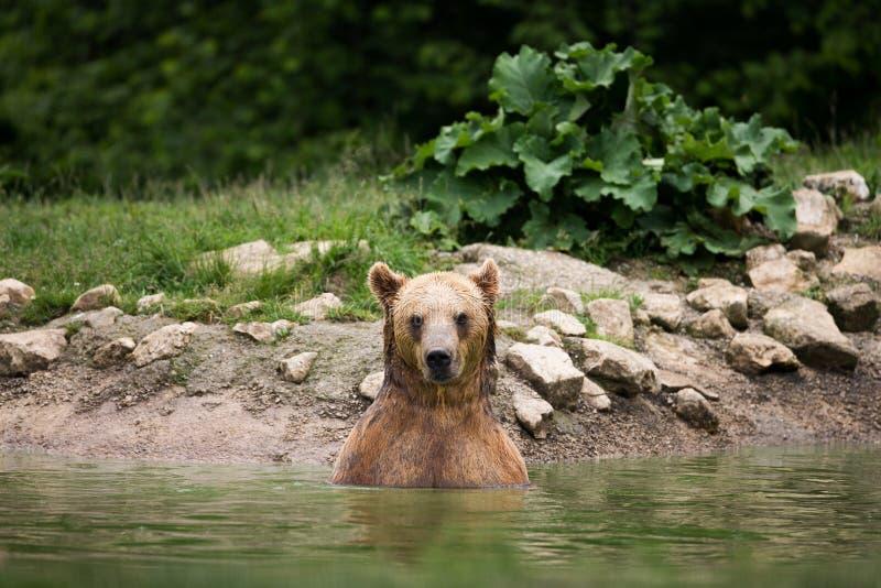 Бурый медведь принимая ванну в озере стоковое фото rf