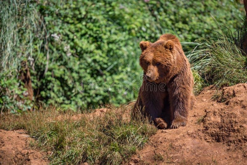 Бурый медведь сидит на утесе в подлеске стоковая фотография rf