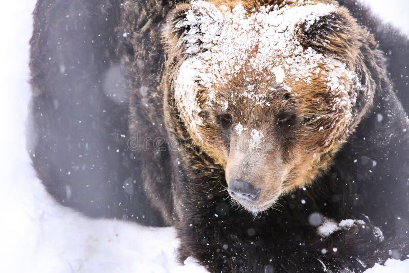 Бурый медведь снега, Хоккаидо, Япония стоковые изображения rf