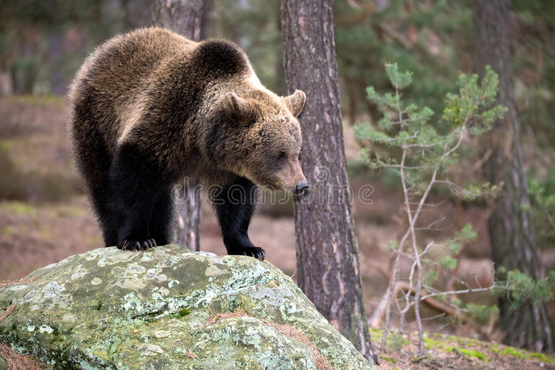 Бурый медведь (arctos Ursus) в лесе зимы стоковое фото rf
