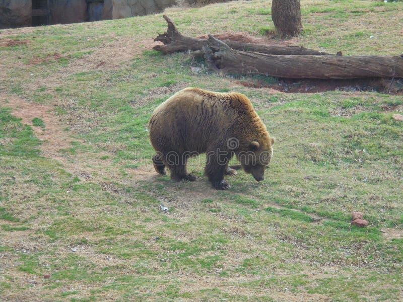 Бурый медведь grazeing стоковое фото