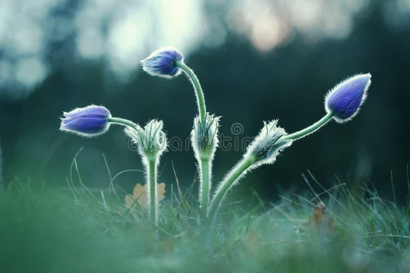 3 бутона полевого цветка Pasque стоковое изображение rf