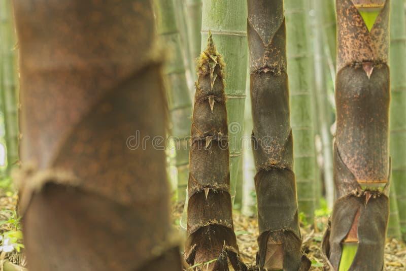 Бутоны Брауна бамбуковых заводов стоковые изображения rf