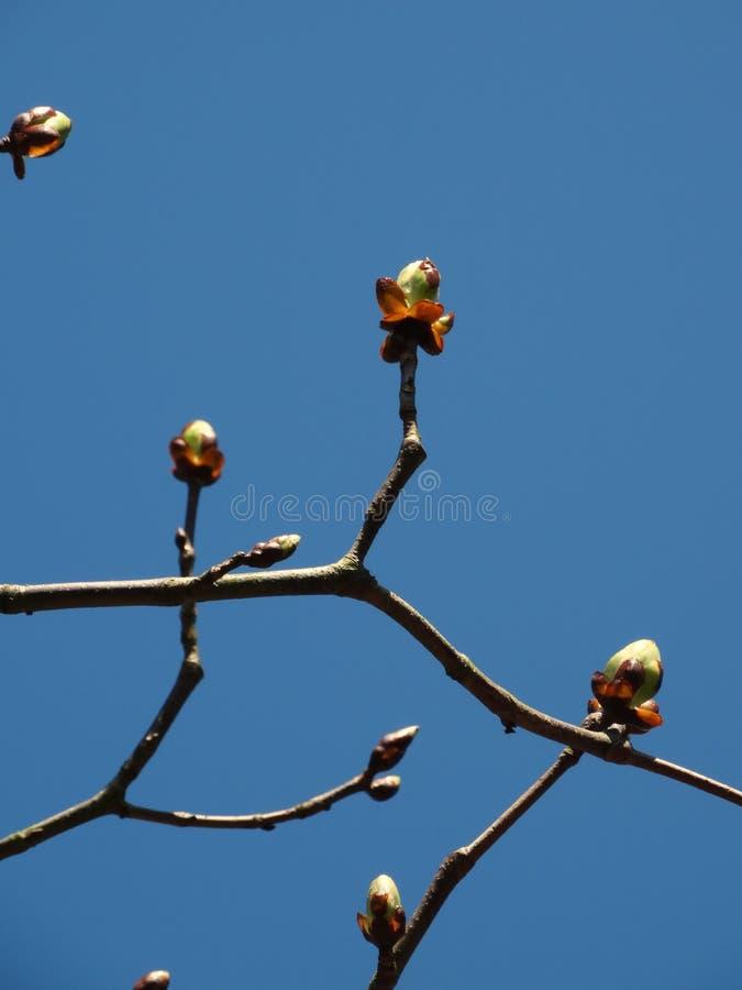 Бутоны в предыдущей весне стоковая фотография