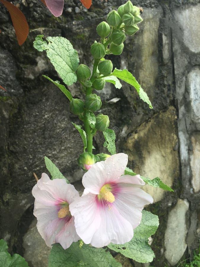 Бутоны и лист цветка цвета Crem красивые стоковые изображения rf