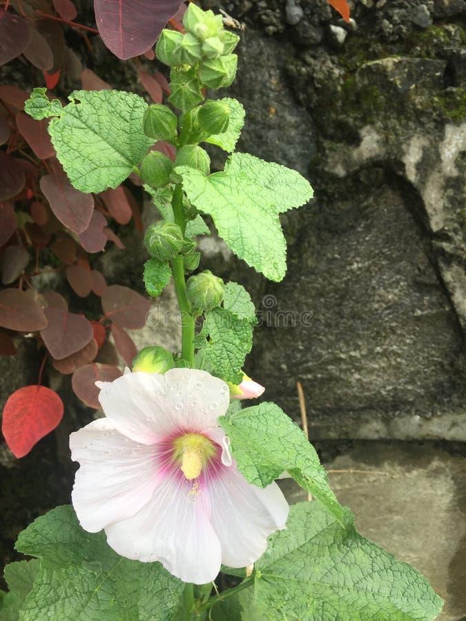 Бутоны и лист цветка цвета Crem красивые ,/,/ стоковое изображение