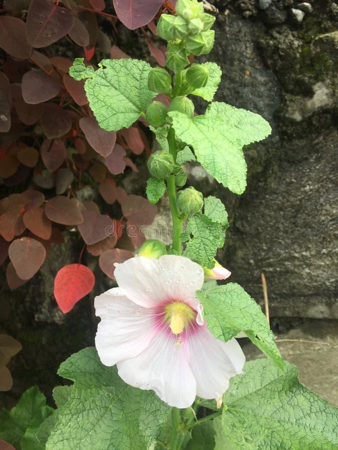 Бутоны и лист цветка цвета Crem красивые ,/,/ стоковое фото rf