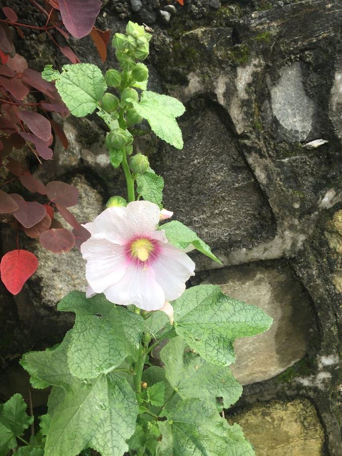 Бутоны и лист цветка цвета Crem красивые стоковая фотография rf