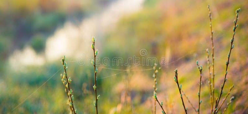 Бутоны и паутина весны стоковые изображения