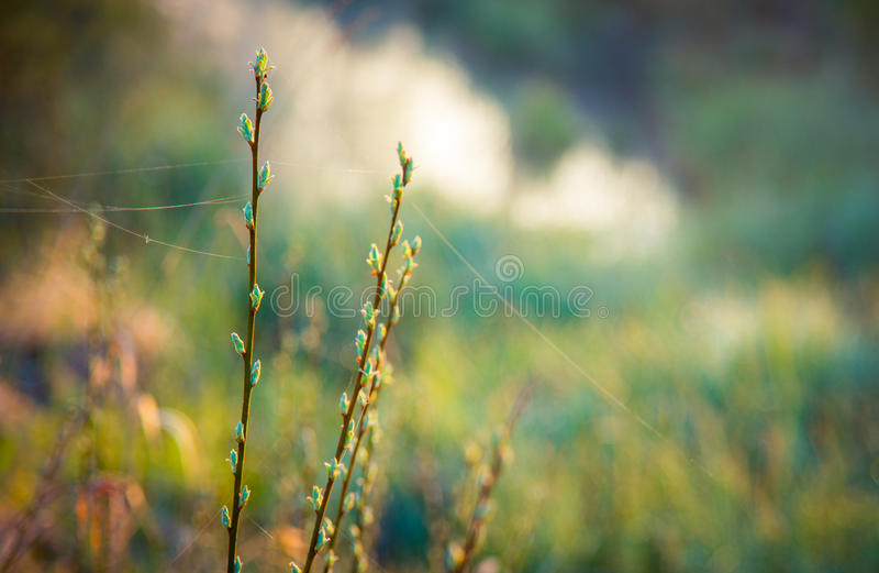 Бутоны и паутина весны стоковое фото rf