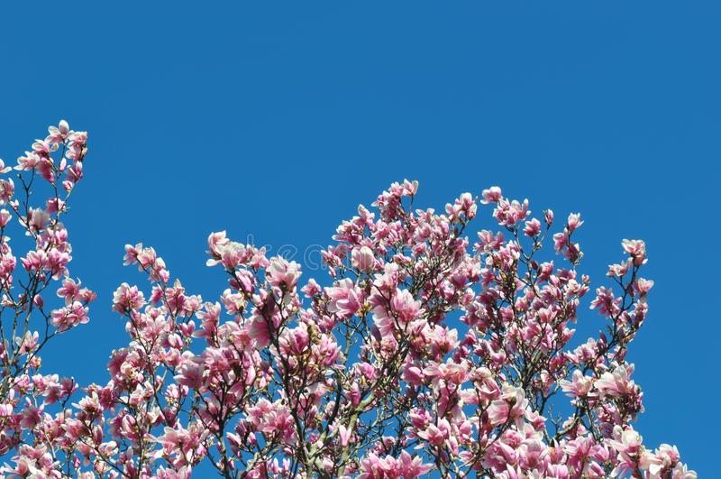 Бутоны и цветки магнолии в цветени Деталь цветя дерева магнолии против ясного голубого неба Большой, свет - розовое цветение весн стоковое фото rf