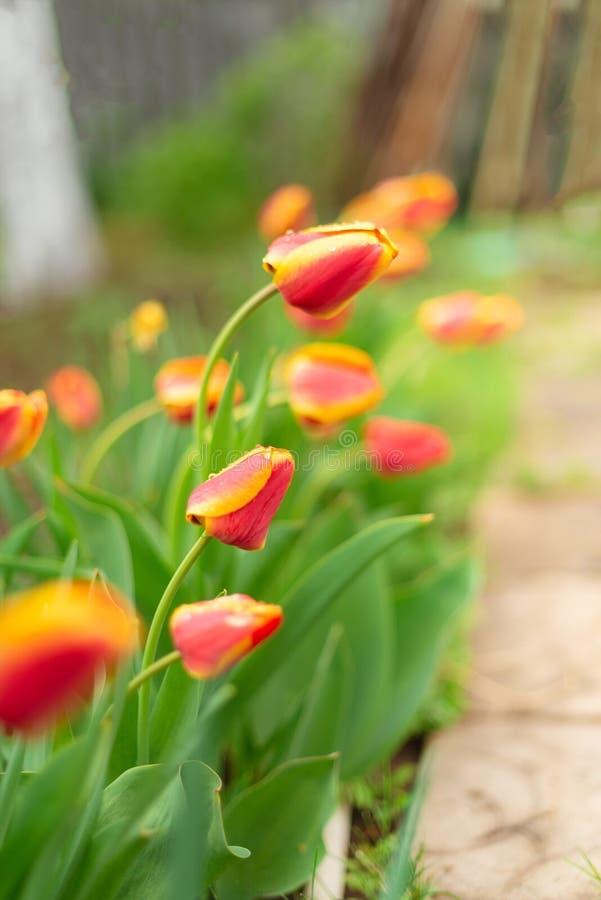Бутоны красных тюльпанов растя в саде, конца вверх, tonned Концепция поздравительной открытки стоковые фото