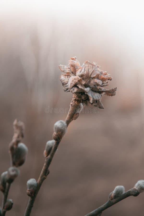 Бутоны сухой тоскливости весны цветка бежевые разветвляют нежные заводы сада вербы стоковое изображение
