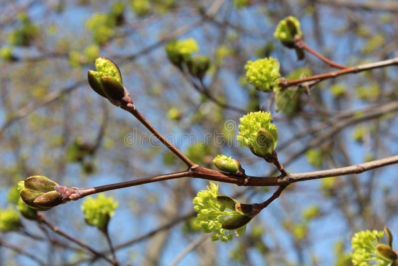 Бутоны цветеня на деревьях стоковые фотографии rf