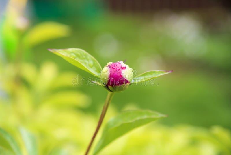 Бутоны цветков пиона Сезон цветя пионов стоковое фото