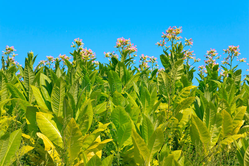 бутоны цветут табак заводов листьев стоковое изображение rf
