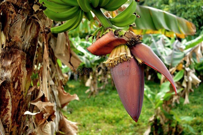 Бутон банана стоковые изображения rf