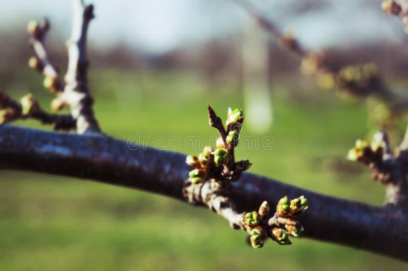 Бутон весны на ветви стоковые фото