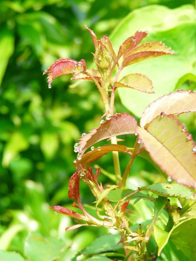 Бутон детенышей розовый поражая к цветеню стоковое фото