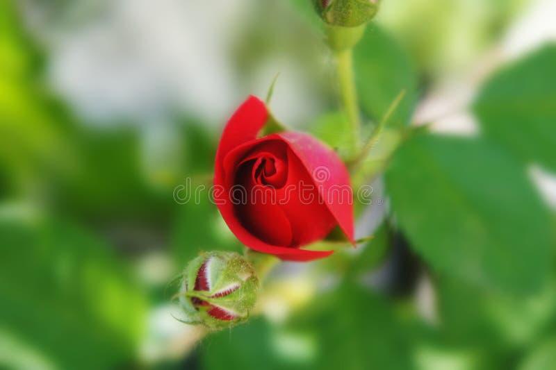 Бутон красной розы растя на кусте с растительностью на заднем плане неоткрытый конец цветка вверх красочный бутон стоковое изображение