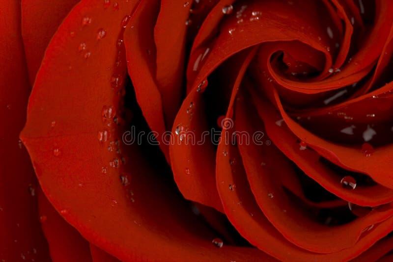 бутон падает красный цвет поднял стоковое фото rf